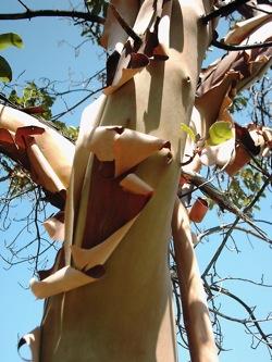 Madrone_Tree_bark