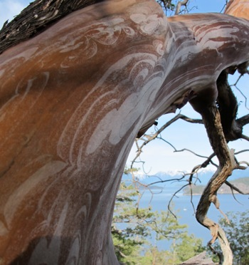 Madrone_tree_trunk