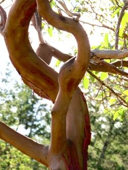 arbutus_tree