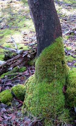 Madrona_Tree_mossy_burl