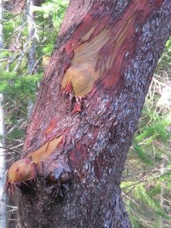 Madrona_tree_trunk