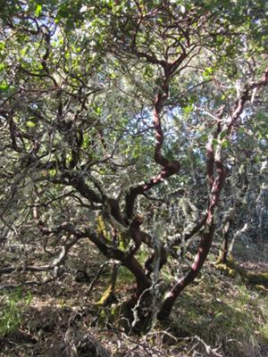 Giant Manzanita tree