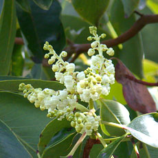Arbutus_flower_blossoms