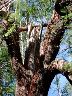 broken_branch_arbutus_tree
