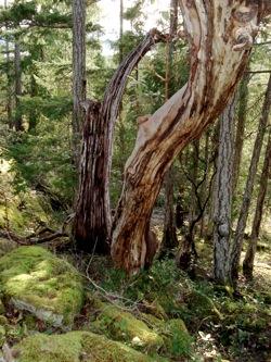 dead_arbutus_trees