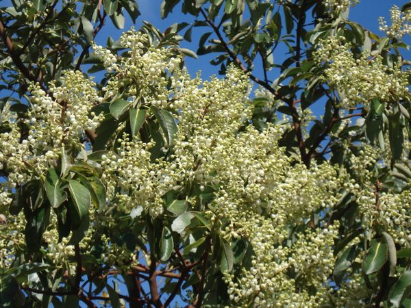 full_bloom_arbutus_flowers