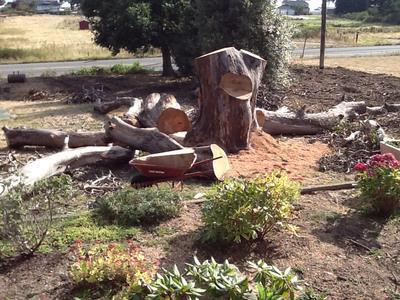 dead arbutus wood