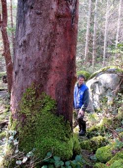 Arbutus-Tree