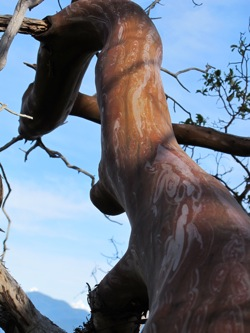 madrone_tree