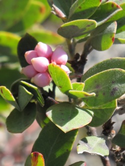 manzanita_tree_flowers