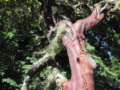 Lady Gaga Manzanita Tree