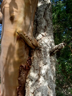 Madrone_tree_nose
