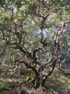 Giant Manzanita tree