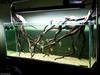 Manzanita Aquarium Arrangement
