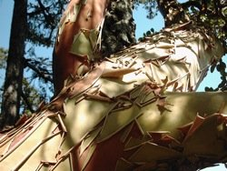 arbutus-tree bark