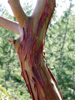 arbutus tree bark