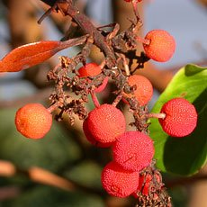 Arbutus / Madrone_berries