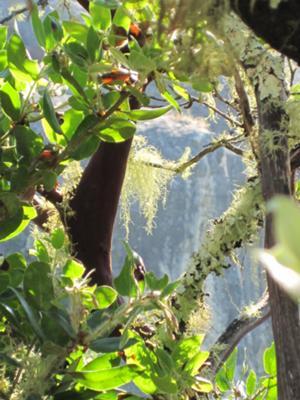 Manzanita trees