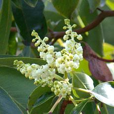 Arbutus_flower_blossoms