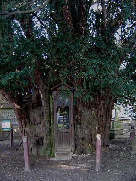 european_yew_tree