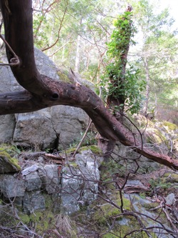 fallen_madrone_branch