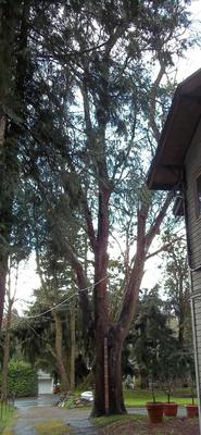 Full view of Madrone tree with 8' 2x4 for scale