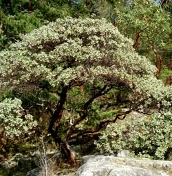 giant_manzanita_tree
