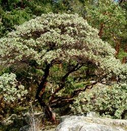 giant_manzanita_tree