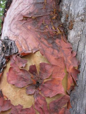 Madrone tree 1