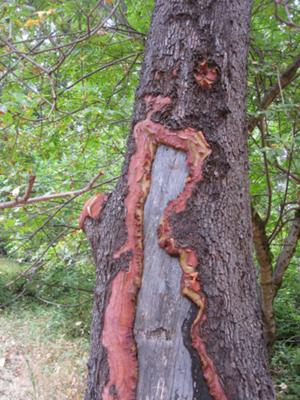Madrone tree 2
