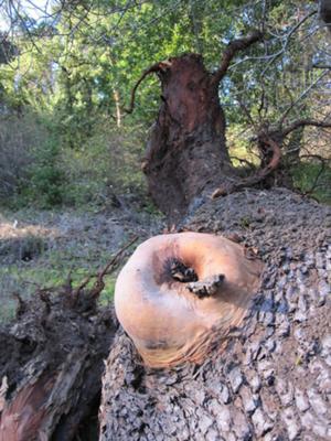 Madrone tree protrusion