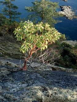 madrone_tree_clinging_to_cliff