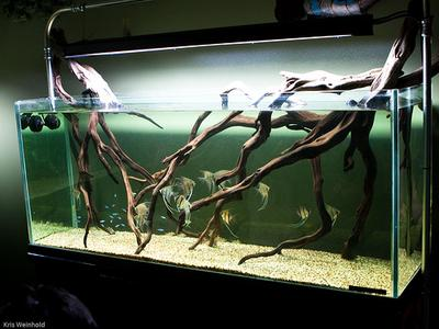 Manzanita Aquarium Arrangement