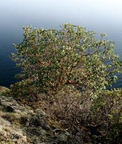 manzanita_tree_by_the_sea