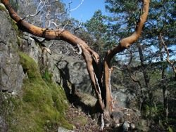 split_arbutus_tree_trunk