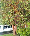 Madrone Tree Madrona Tree Arbutus Tree Favorite Trees